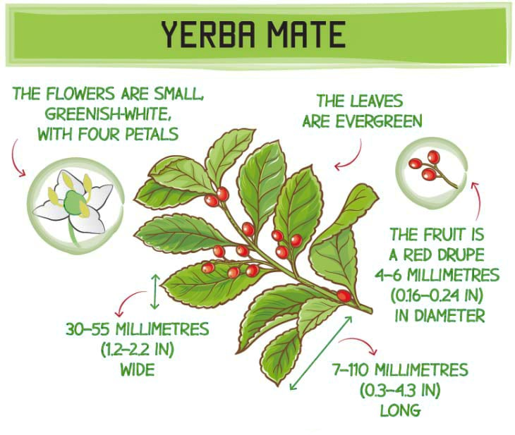 What is yerba mate - yerba mate leaf